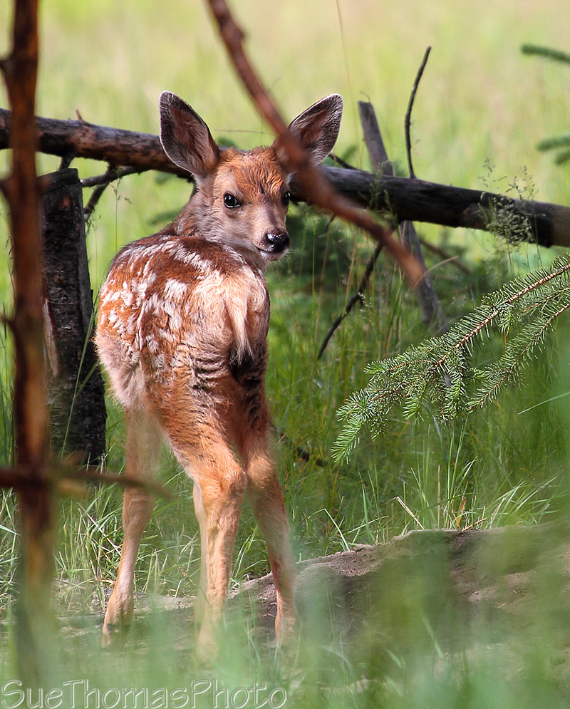 Mule Deer Fawn in Yukon
