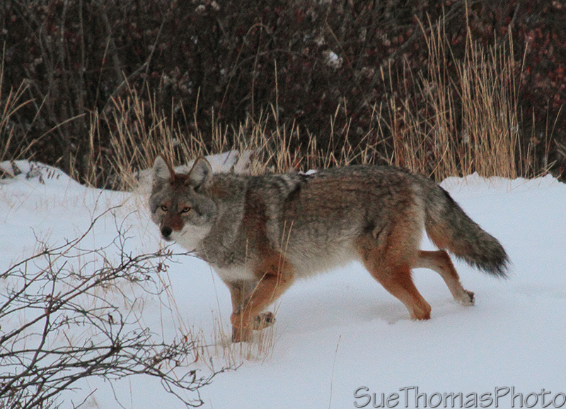 Coyote in Yukon