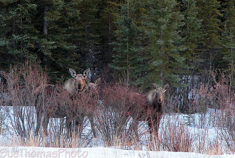 Moose and two calves - Alaska Highway