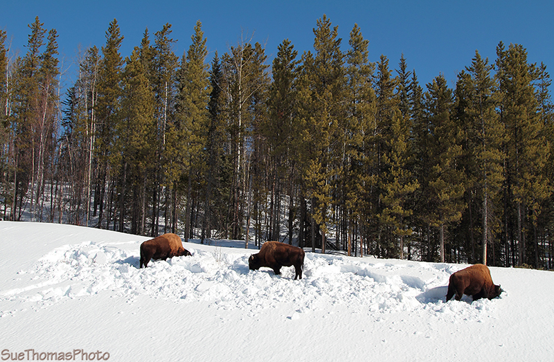 Bison seeking nutrition along the Alaska Highway near the Yukon/B.C. border - March 2013