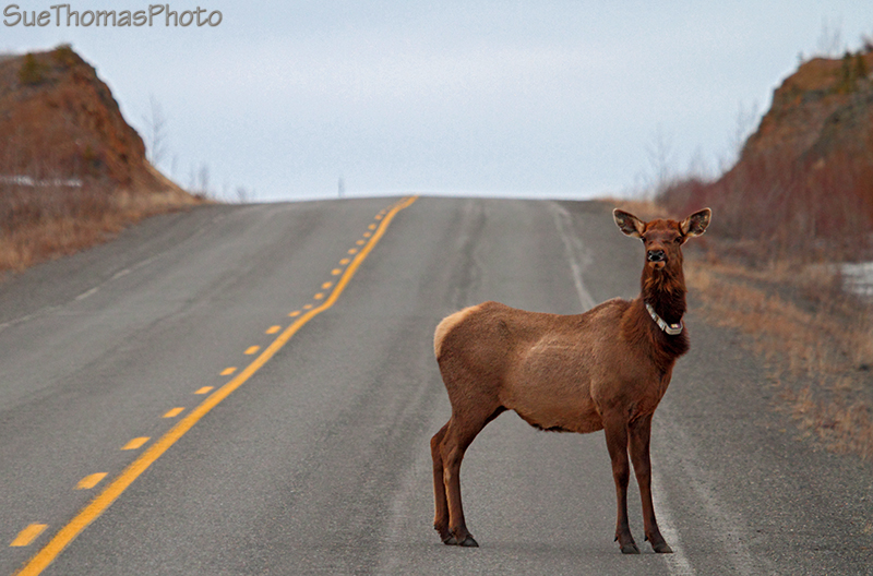Braeburn Elk on the Klondike Highway in Yukon