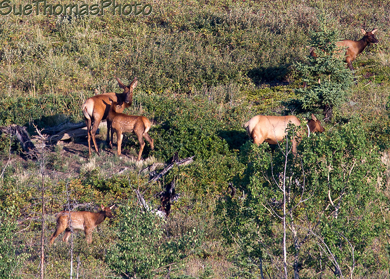 Elk cows and calves on a hillside