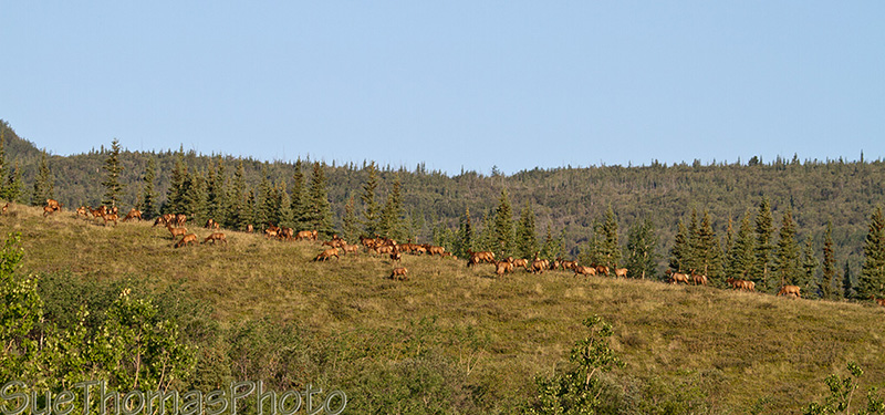 Elk in the distance on a hill