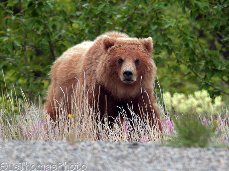 IMAGE: http://yukonsights.ca/images/Wildlife/20140624_Grizzly_21.jpg
