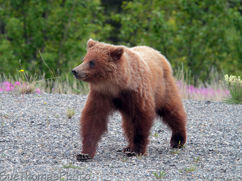 IMAGE: http://yukonsights.ca/images/Wildlife/20140624_Grizzly_36.jpg