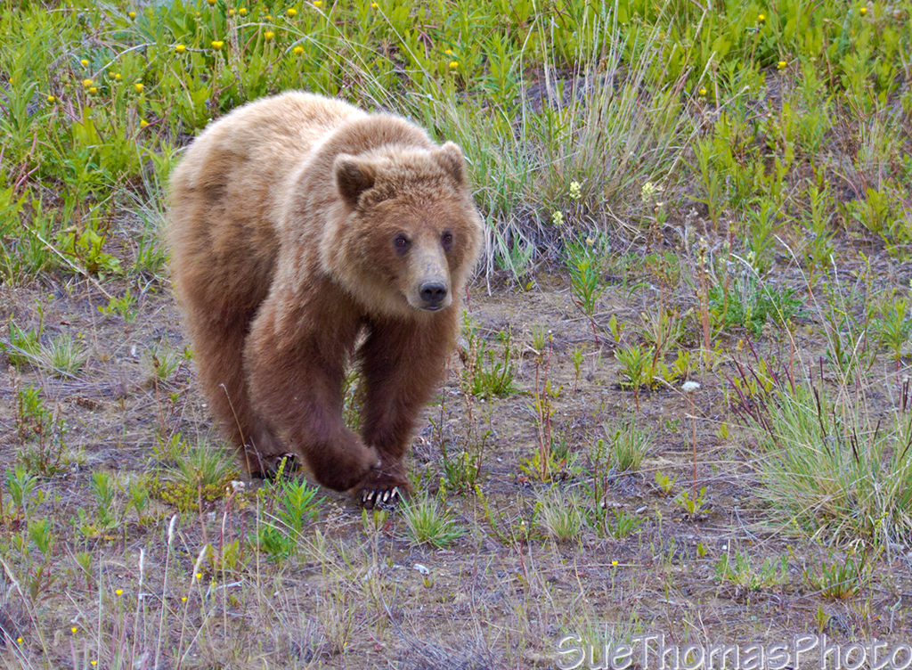 IMAGE: http://yukonsights.ca/images/Wildlife/20140624_Grizzly_40.jpg