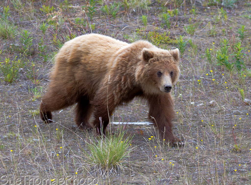 IMAGE: http://yukonsights.ca/images/Wildlife/20140624_Grizzly_42.jpg