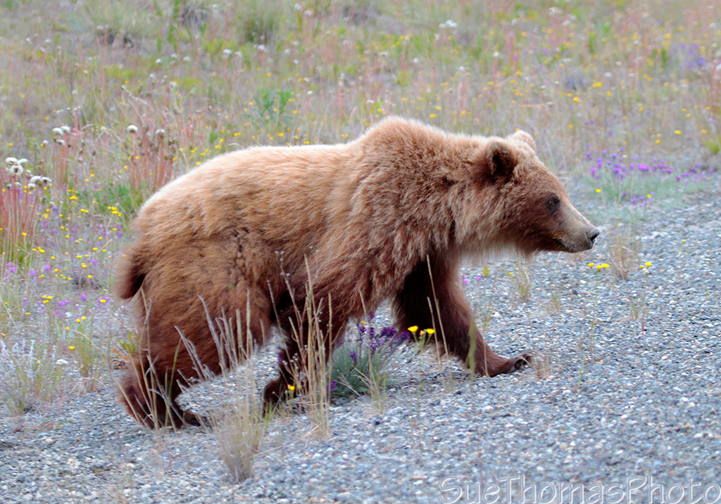 IMAGE: http://yukonsights.ca/images/Wildlife/20140624_Grizzly_45.jpg