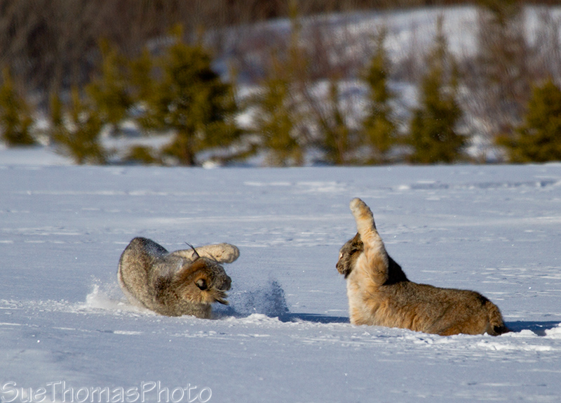 Lynx having a spat