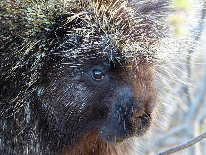 Porcupine in a willow tree