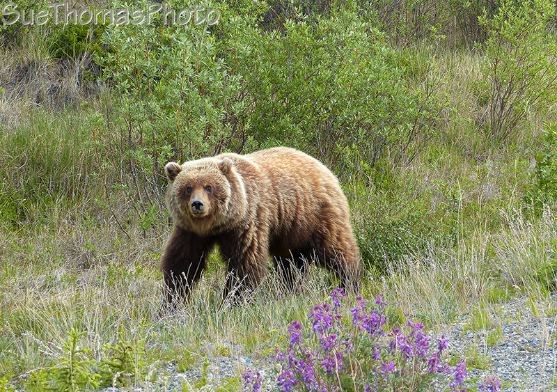 Grizzly in Yukon