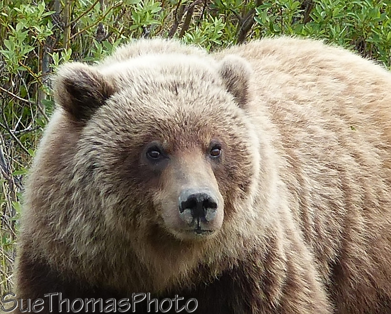 Grizzly bear along the Alaska Highway in Yukon