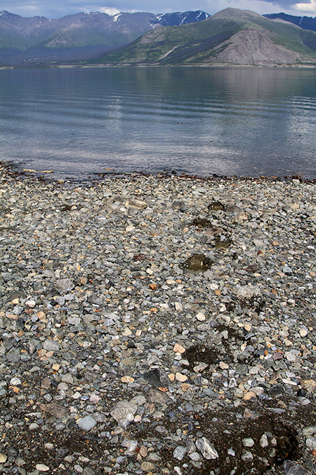 Grizzly bear print on Kluane Lake shoreline