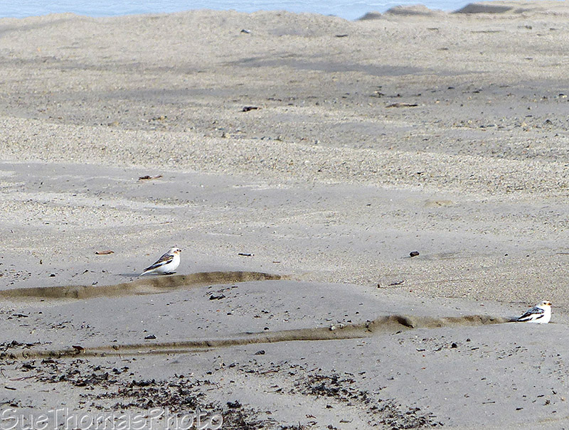 Snow Buntings on the shore