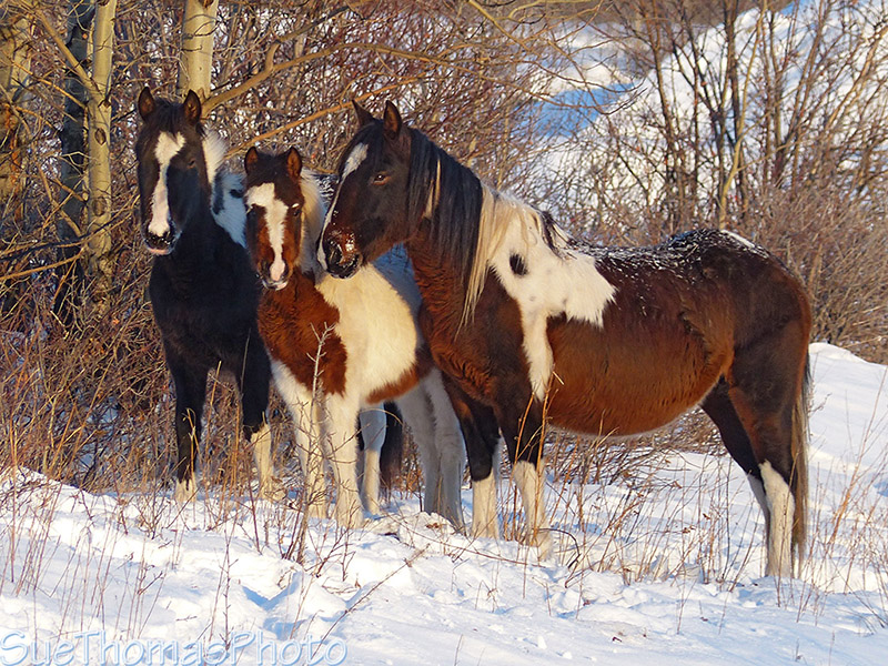 Feral or wild horses in Yukon